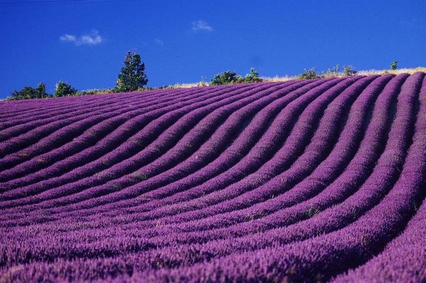 champs de lavande, incomparables par leur couleur violette, l'une des plantes utilisées en bottes d'herbes.